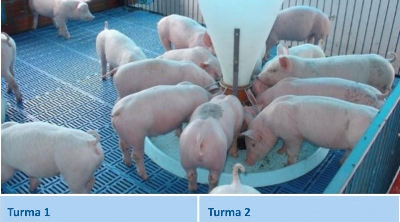 Imagem porcos